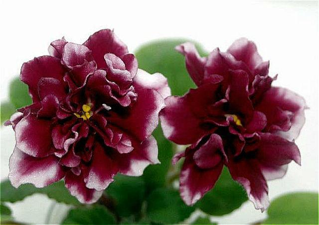 Фиалка  описание лист и цветы фиалки сорта фиалки уход