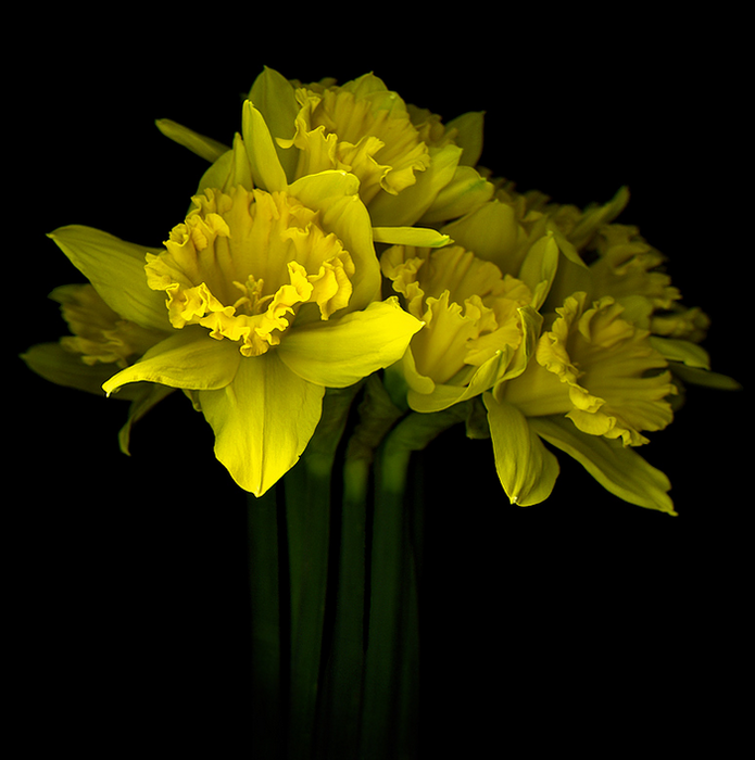 500px - Photo  SPRING EXPLOSION, the yellow daffodils... by Magda indigo (695x700, 302Kb)