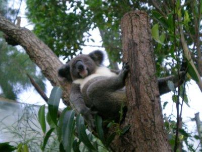 коала (400x300, 32Kb)