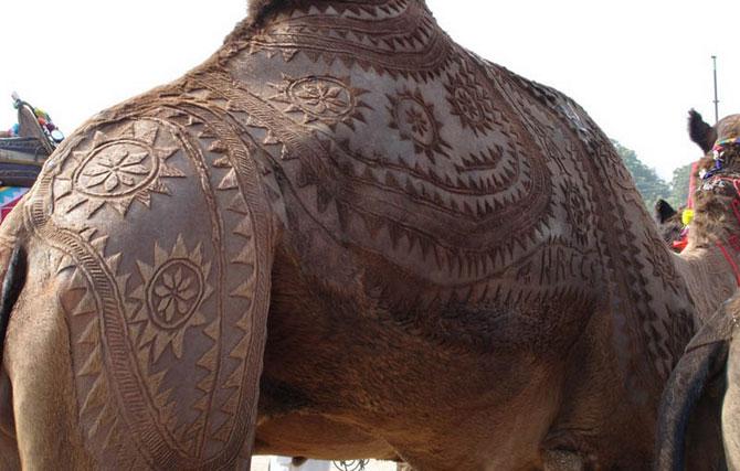 фото верблюд 9 (670x427, 67Kb)