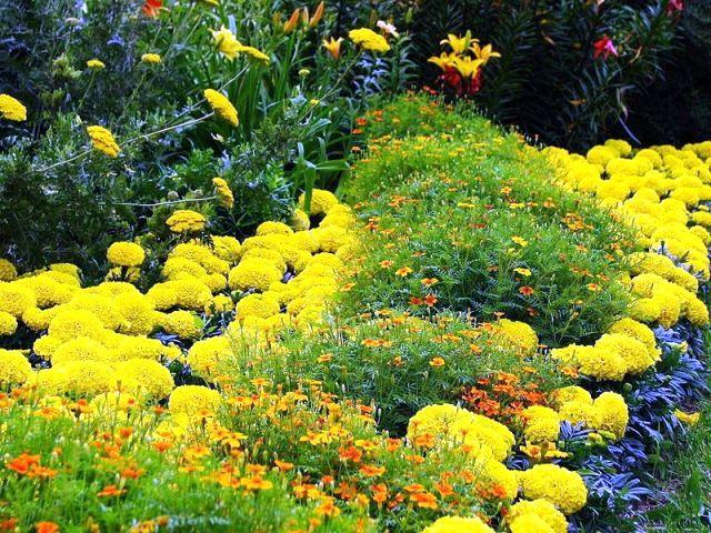 Однолетние цветы для дачи фото