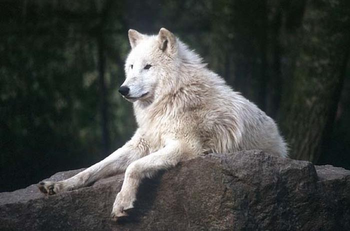 Wolfs (2) (700x462, 67Kb)