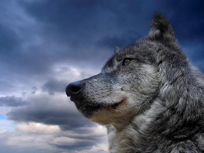 Wolfs (11) (700x525, 355Kb)