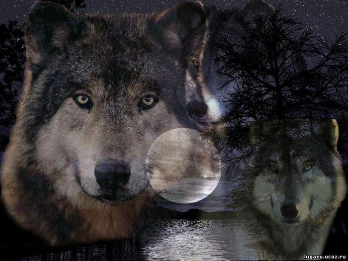 Wolfs (23) (700x525, 67Kb)