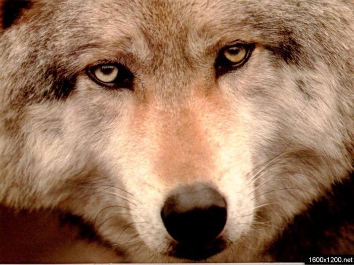 Wolfs (28) (700x525, 428Kb)
