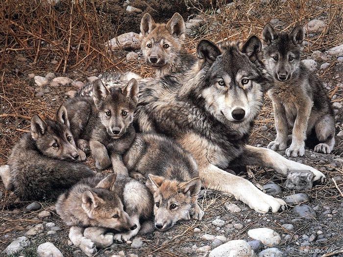 Wolfs (29) (700x525, 229Kb)