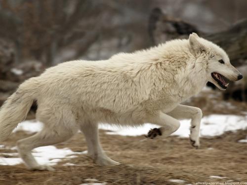 Wolfs (31) (500x375, 138Kb)