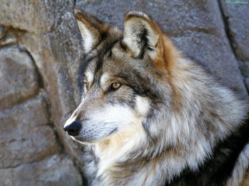 Wolfs (35) (500x375, 176Kb)