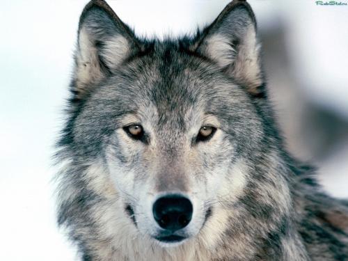 Wolfs (37) (500x375, 152Kb)