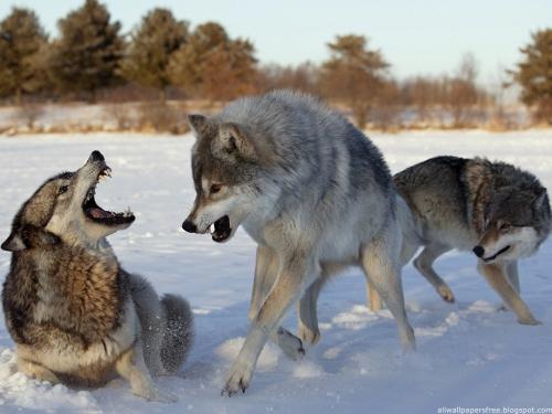 Wolfs (39) (500x375, 147Kb)