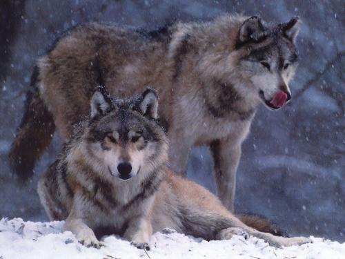 Wolfs (40) (500x375, 172Kb)