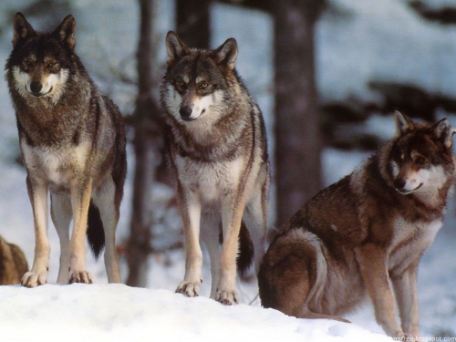 Wolfs (41) (500x375, 154Kb)