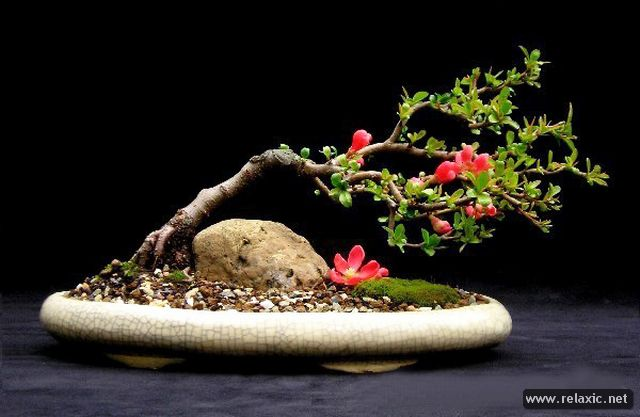 bonsai_003 (640x417, 42Kb)