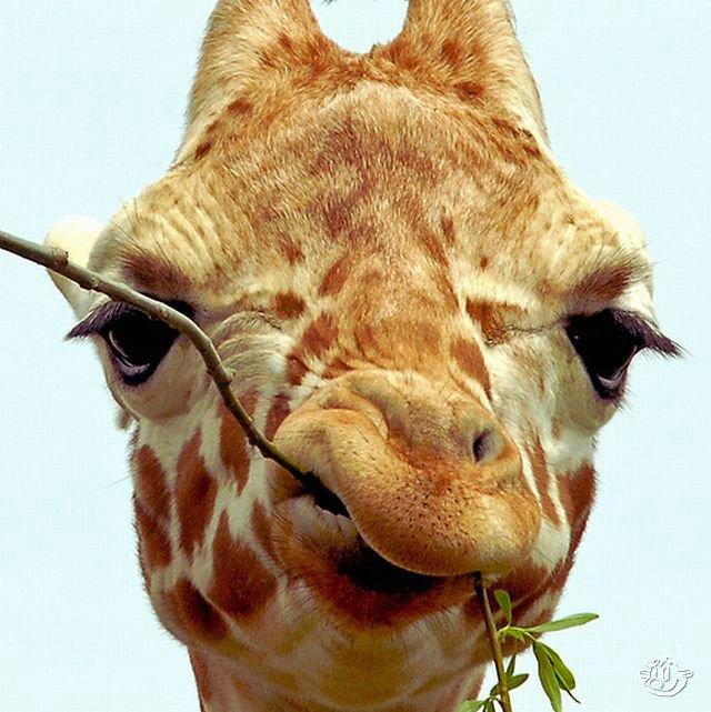 4278666_1262951978_funny_giraffes_038 (640x641, 82Kb)