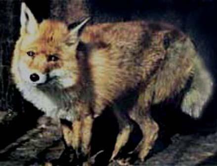 Волк и лиса спящая под боком онлайн в хорошем hd 1080 качестве фотоография
