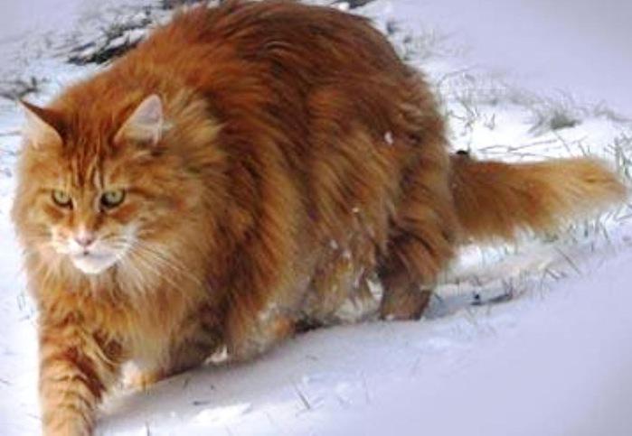 Мейн кун кот енот