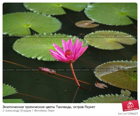 ekzoticheskie-tropicheskie-tsvety-tailanda-ostrov-0001296627-preview (543x452, 74Kb)