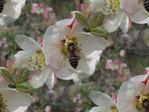 Превью пчелка (480x360, 32Kb)