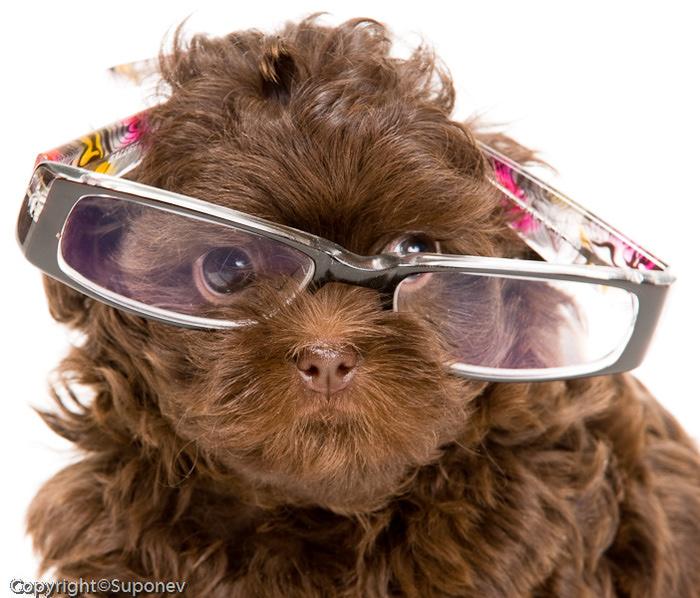 смешная собака фото/1339016362_smeshnaya_sobaka_v_ochkah_foto (700x598, 166Kb)