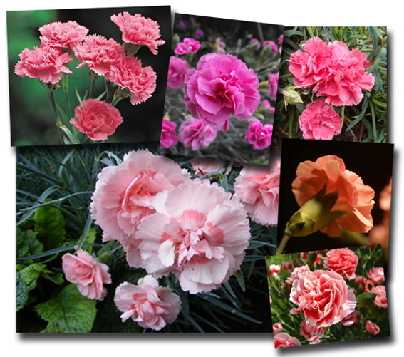 carnation-compwc-lores (567x501, 287Kb)