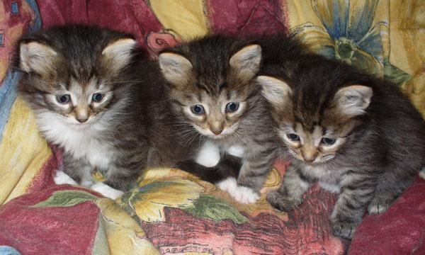 kittens (600x360, 88Kb)