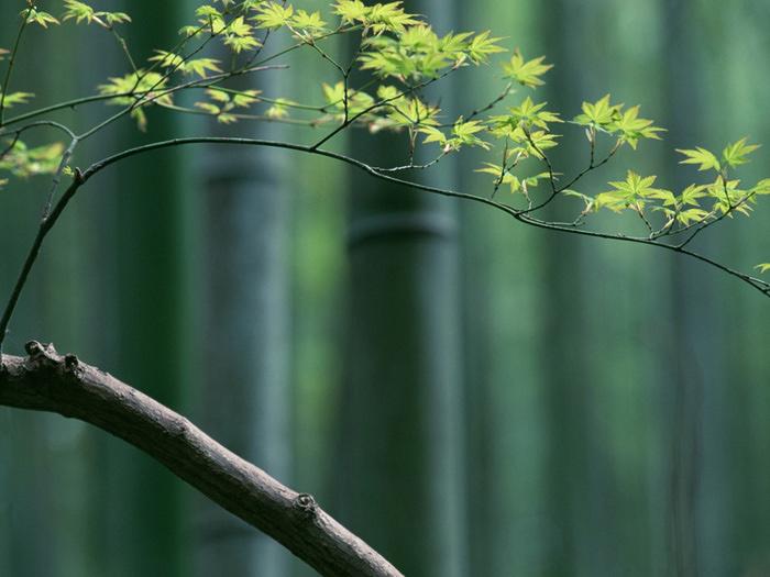 bamboos083 (700x525, 128Kb)