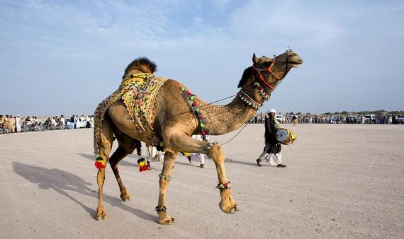верблюжьи картины1 (570x338, 123Kb)