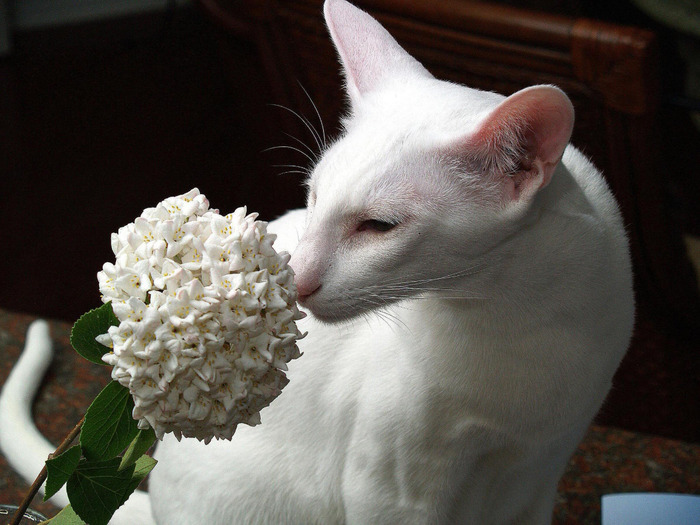 cute_white_oriental_cat_smelling_wallpaper (700x525, 117Kb)