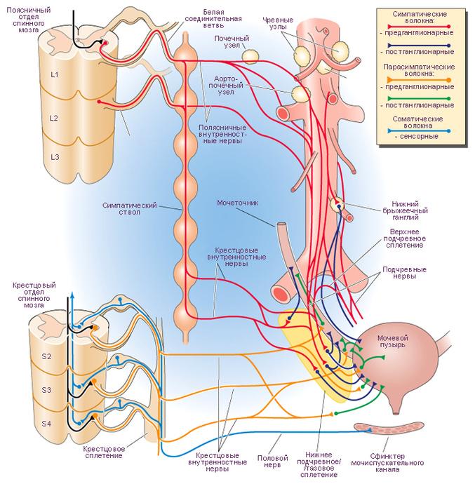Пузырь Мочевой Нейропатический фото