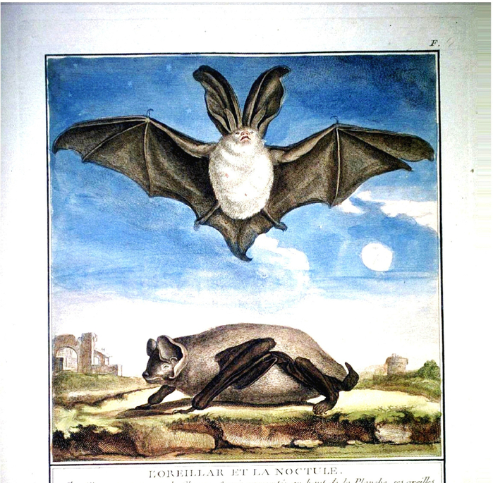Animal-Bat-French (700x685, 567Kb)