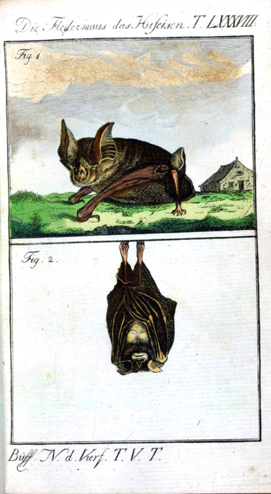 Animal-Bat-Engraving-1785-German-2 (384x700, 308Kb)