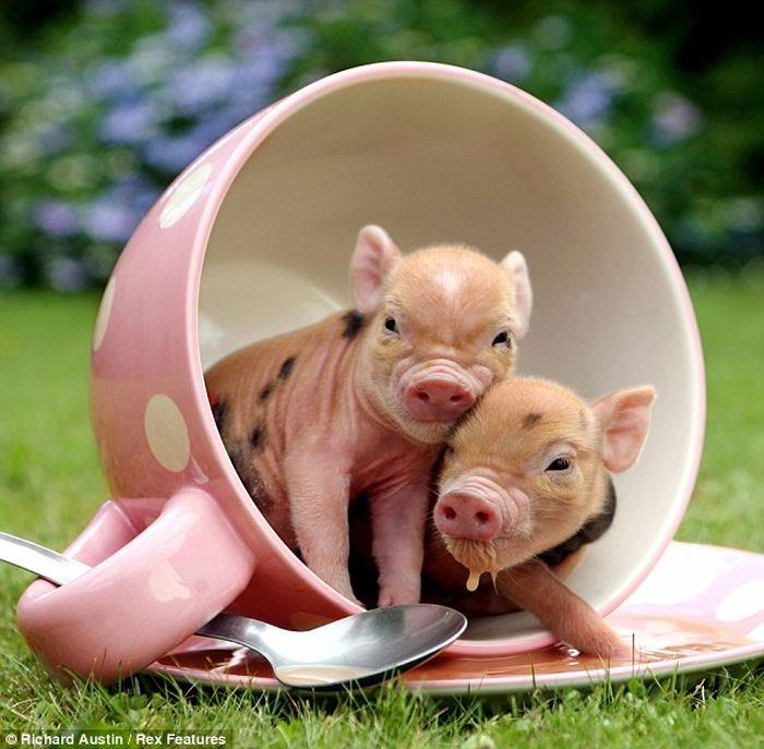 Pig_1 (700x687, 73Kb)