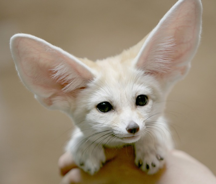 ����� (fennec fox) (20) (700x598, 54Kb)