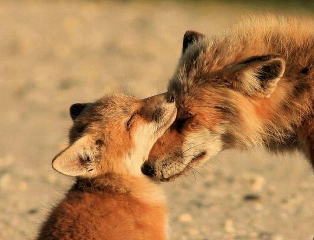 картинки лиса с лисёнком