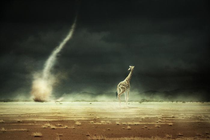Любительская категория. Анималистическая съемка, 1 место. Сергей Михайлов, «Пыльная буря на высохшем озере» (700x466, 133Kb)