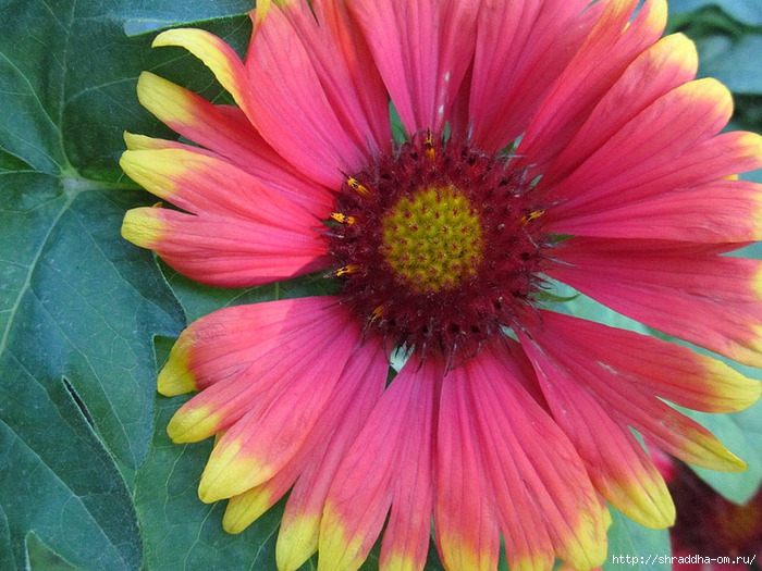 дача, лето, цветы, 1 (700x525, 276Kb)