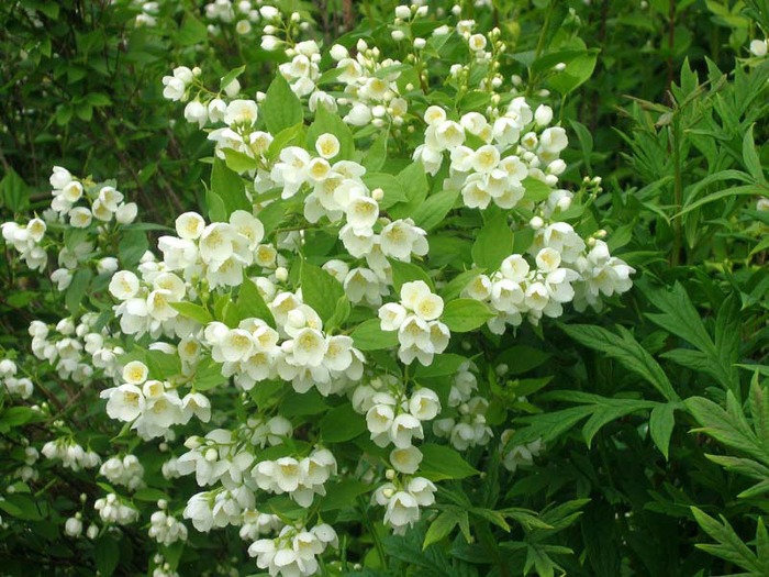 жасмин цветы фото: