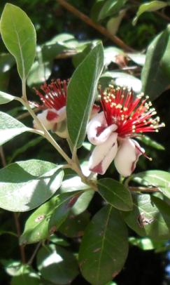 Цветы фейхоа с мясистыми сладкими лепестками (243x406, 255Kb)