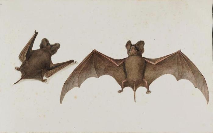 Animal-Bat-Animals-of-the-Levant (700x437, 22Kb)