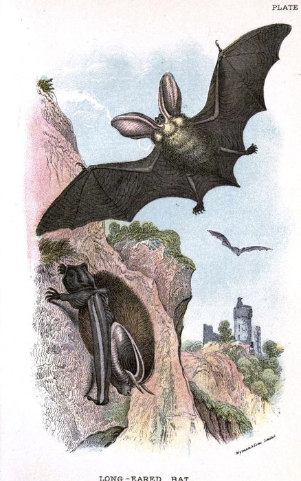Animal-British-mammal-1896-Bat-in-a-cave (438x700, 252Kb)
