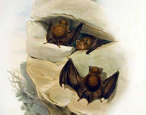 Hipposideros_cervinus_-_Gould (484x382, 21Kb)
