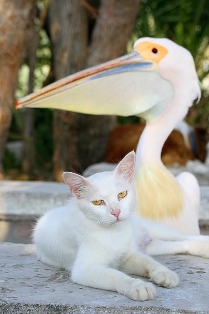 кот и пеликан (426x640, 77Kb)
