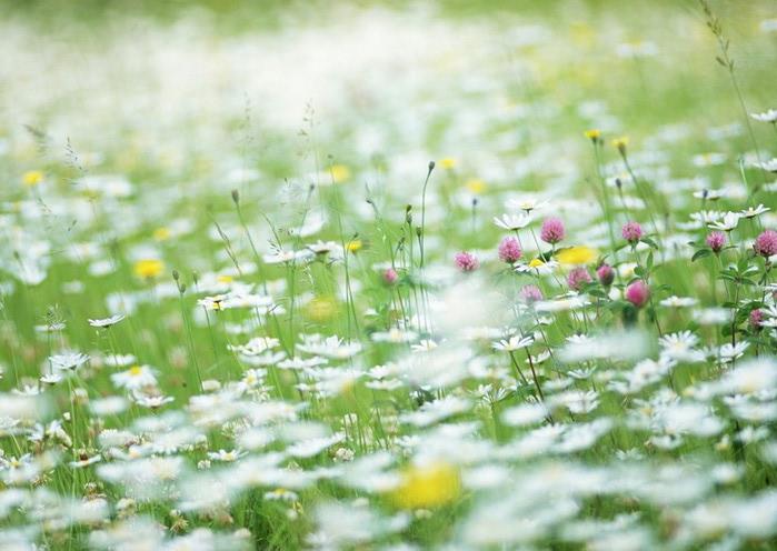Ванильные фотографии цветов от Sozaijiten 32 (700x496, 92Kb)