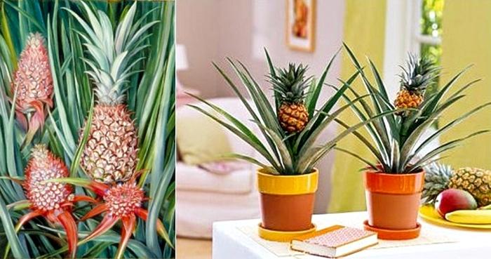 Как в домашних условиях дозревают ананасы