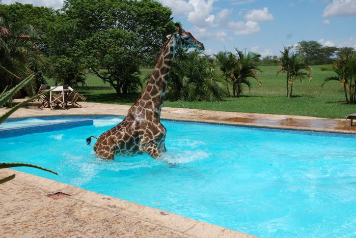жираф фото (700x468, 86Kb)