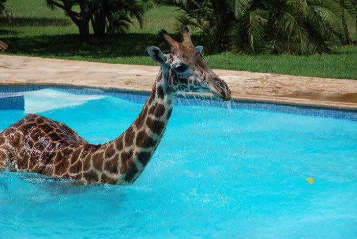 жираф фото 3 (700x468, 77Kb)