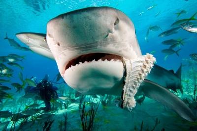 акула (400x267, 103Kb)