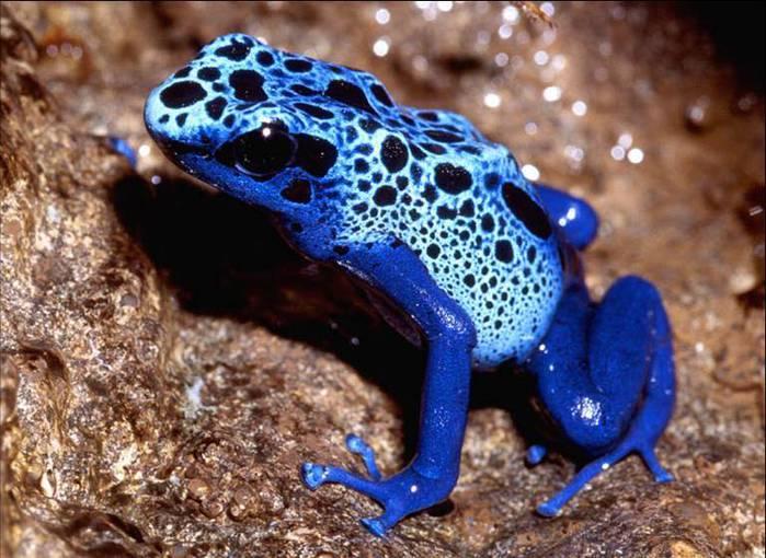 Dart frogs (700x510, 69Kb)