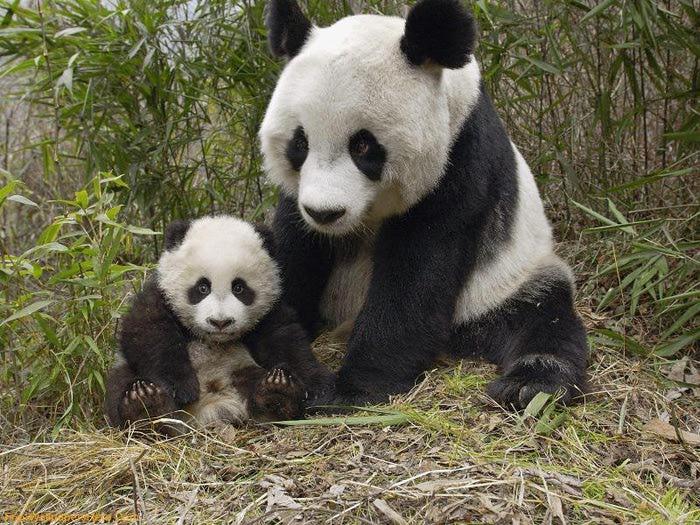 Мать и дитя - панды (700x525, 106Kb)