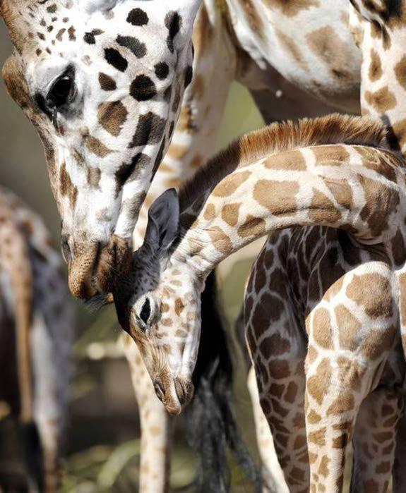 Мать и дитя - жирафы (575x700, 64Kb)